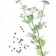 flowering coriander (Coriandrum sativum), in front of white background